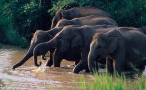 sri lankan elephant bundala fishing, buffalo