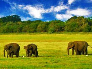 elephants sri lankan riders
