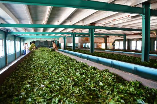 sri lankan tea cultivation